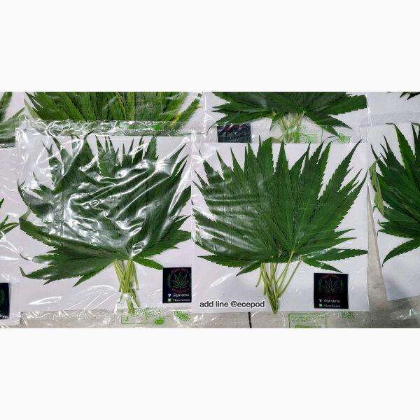 ใบกัญสด (Cannabis Leaf ) - 10 ชิ้น/แพ็ค