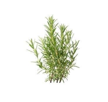 Rosemary 100 g. โรสแมรี่ 100 กรัม